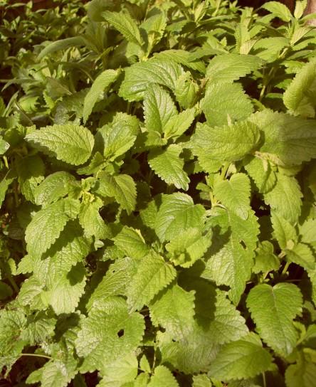 Wildkräuter im Garten, hier zu sehen: Zitronenmelisse