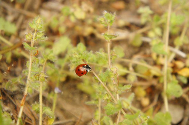 Marienkäfer auf einem Stengel, Symbol fürs glücklich sein