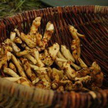 Foto von gewaschenen Beinwellwurzeln in einem Korb
