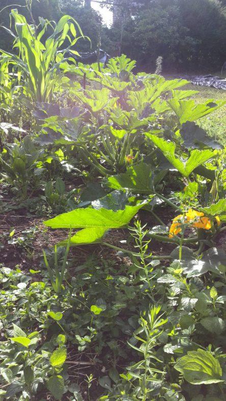 Gemüsebeet mit Kürbispflanze und anderen Leckereien