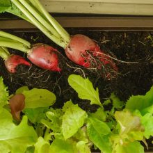 Foto aus dem Buch Bio-Gärtnern am Fensterbrett - Drei Radieschen werden aus der Erde eines Balkonkastens gezogen.