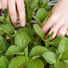 Foto aus dem Buch Bio-Gärtnern am Fensterbrett - Pflege der Ackerbohnen