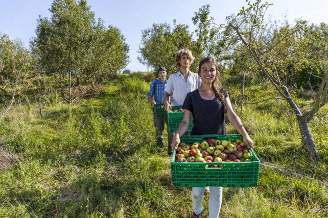 Apfelernte im Auergarden, der als CSA organisiert ist.
